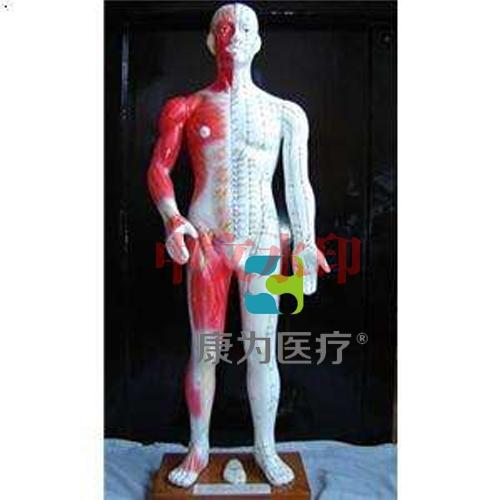 """""""康为医疗""""68cm半皮肤人体针灸模型(十四经穴模型)"""