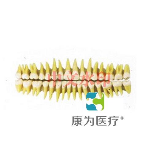 """""""康为医疗""""成人牙齿模型32颗"""