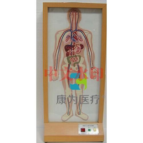 """""""康为医疗""""浮雕式大小循环电动模型"""