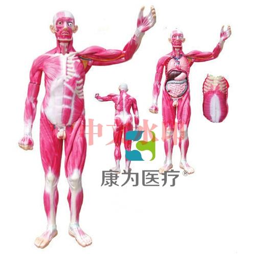 """""""康为医疗""""全身肌肉解剖附内脏器官模型"""