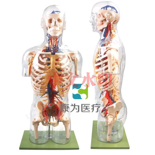 """""""亚博体育网页版登陆医疗""""透明半身躯干附主要血管神经亚博体育官方版"""