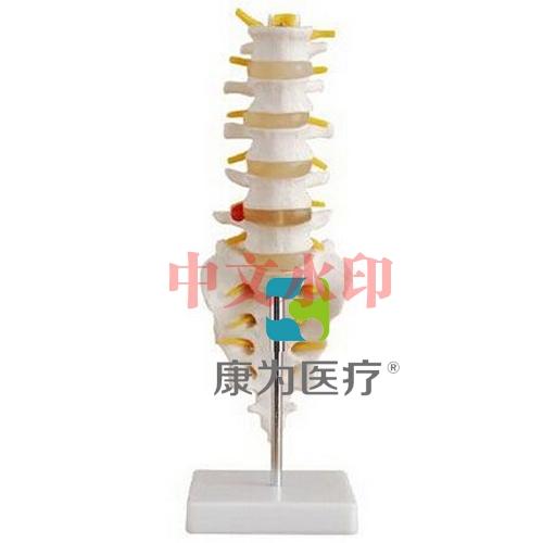 """""""亚博体育网页版登陆医疗""""小型腰椎带尾椎骨亚博体育官方版 商品描述: 小型腰椎带尾椎骨亚博体育官方版由5节带椎间盘的腰椎、骶骨、尾骨、脊神经和脊椎组成。 尺寸:自然大 材质:进口PVC材料 包装:62×29×29cm,32件/箱,14kg"""