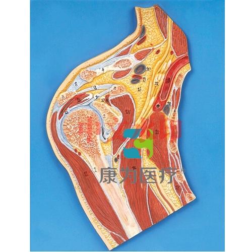 """""""康为医疗""""肩关节剖面模型"""