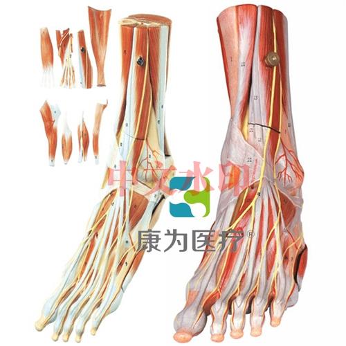 """""""康为医疗""""足肌附主要血管神经模型"""