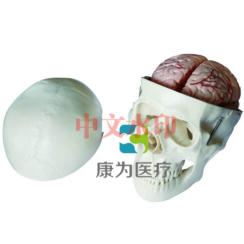 """""""康为医疗""""头骨带8部分脑动脉模型"""