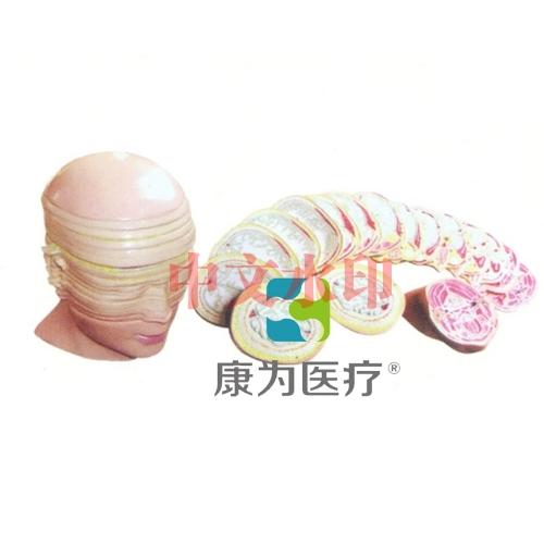 """""""康为医疗""""人体头颈部横断断层解剖模型"""