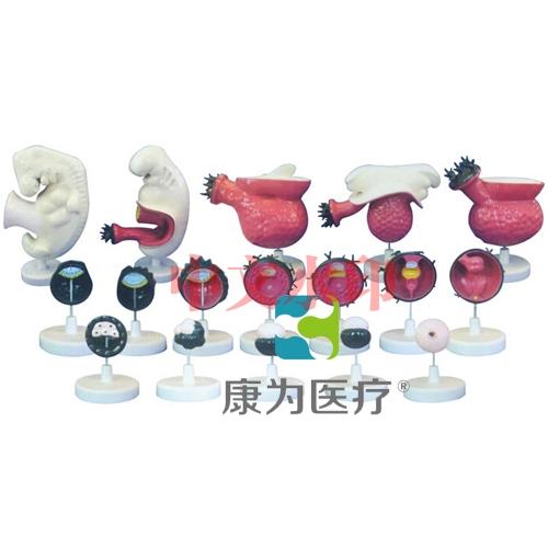 """""""康为医疗""""人体胚胎模型"""