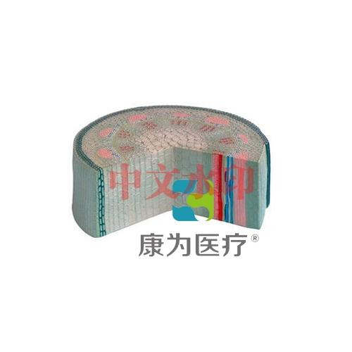 """""""康为医疗""""双子叶草本植物茎模型"""
