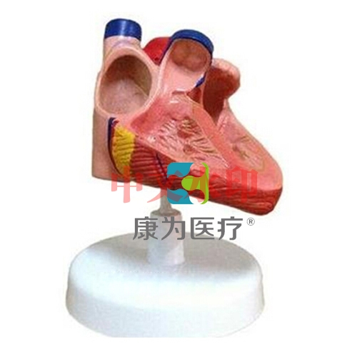 """""""康为医疗""""心脏传导系模型"""