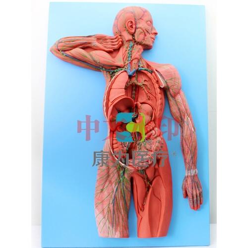 """""""康为医疗""""淋巴系统模型"""