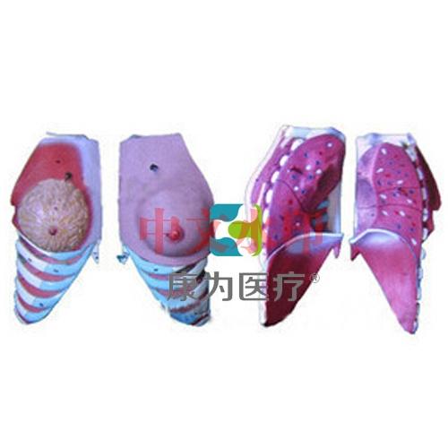 """""""康为医疗""""女性乳房解剖模型"""