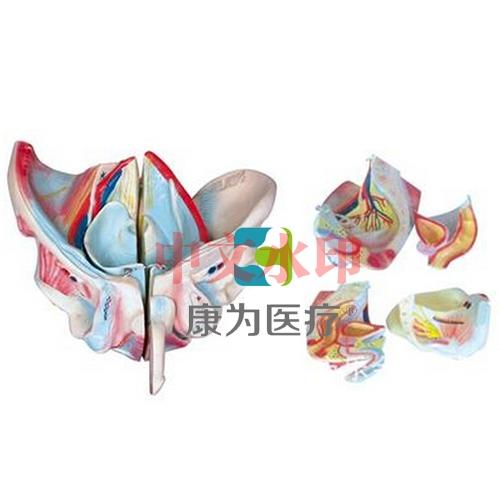 """""""康为医疗""""男性骨盆附生殖器官与血管神经模型"""