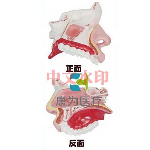 """""""康为医疗""""鼻腔解剖模型"""