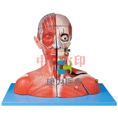 """""""康为医疗""""头颈部血管神经附脑模型"""