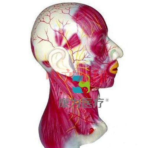 """""""康为医疗""""头颈部浅层解剖模型"""