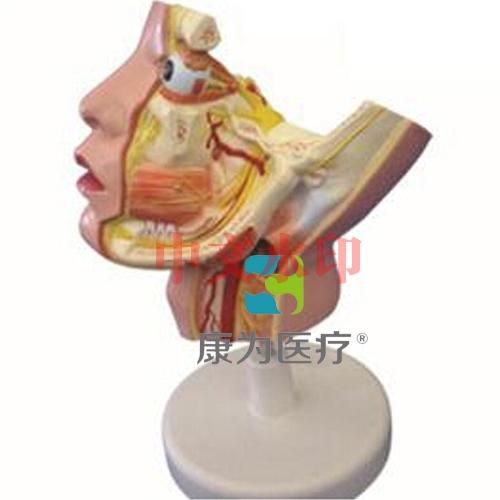"""""""康为医疗""""三叉神经及其分支模型"""