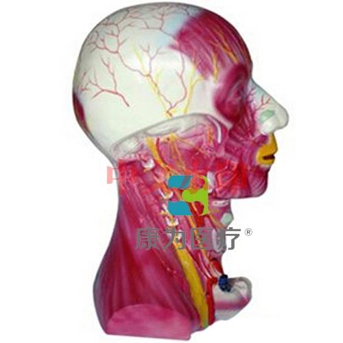 """""""康为医疗""""颈部深层肌肉血管神经模型"""