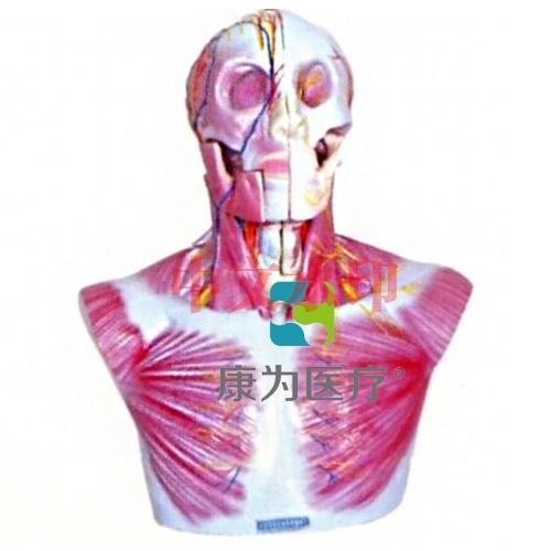 """""""康为医疗""""头部、颈部层次解剖模"""