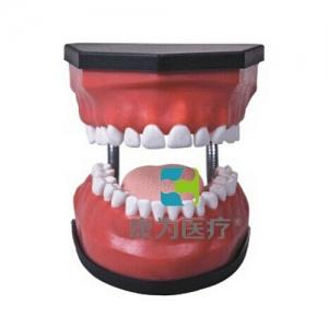 """""""亚博体育网页版登陆医疗""""豪华型牙护理保健亚博体育官方版(32颗牙,可脱卸)"""