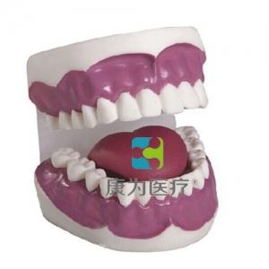 """""""yzc亚洲城 唯一 官网医疗""""牙护理保健模型(28颗牙)(放大3倍)"""
