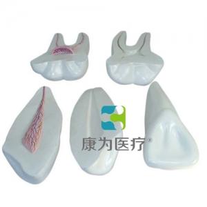 """yzc亚洲城 唯一 官网医疗""牙解剖模型(3只/套)"