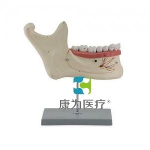"""yzc亚洲城 唯一 官网医疗""下颌恒牙解剖(自然大)"