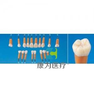 """""""康为医疗""""解剖学单根模型牙"""