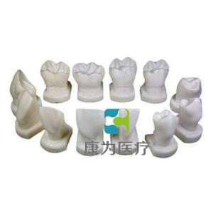"""""""康为医疗""""牙体形态模型"""