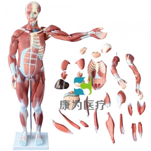 """""""亚博体育网页版登陆医疗""""80CM人体肌肉亚博体育官方版 27件"""