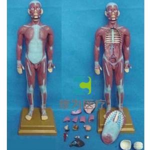 """""""康为医疗""""人体全身肌肉附内脏模型(小)"""