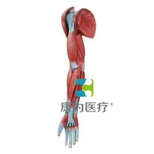 """""""亚博体育网页版登陆医疗""""上肢肌肉解剖亚博体育官方版"""