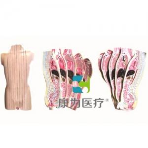 """""""康为医疗""""人体躯干矢状断层解剖模型(10片)"""