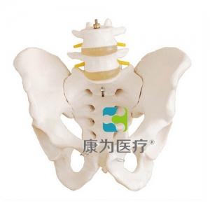 """yzc亚洲城 唯一 官网医疗""盆骨带两节腰椎模型"