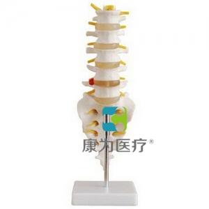 """""""康为医疗""""小型腰椎带尾椎骨模型 商品描述: 小型腰椎带尾椎骨模型由5节带椎间盘的腰椎、骶骨、尾骨、脊神经和脊椎组成。 尺寸:自然大 材质:进口PVC材料 包装:62×29×29cm,32件/箱,14kg"""