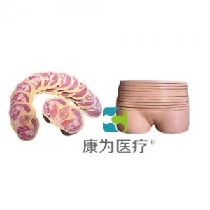 """""""康为医疗""""女性盆部横断断层解剖模型"""