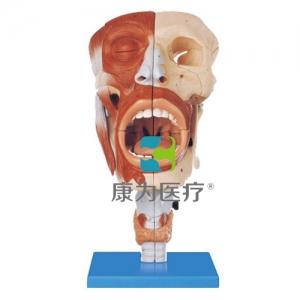 """""""康为医疗""""鼻、口、咽、喉腔模型"""