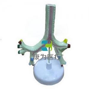"""""""康为医疗""""唾液腺及咽肌解剖模型  示外形变化,共3部件。 尺寸:自然大"""
