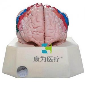 """""""yzc亚洲城 唯一 官网医疗""""大脑皮质分区模型"""