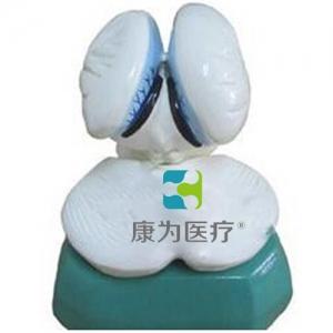 """""""yzc亚洲城 唯一 官网医疗""""第四脑室脉络组织和脉络丛模型"""