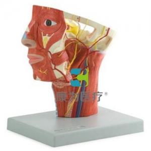 """""""康为医疗""""头部动脉模型"""