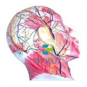 """""""康为医疗""""颜面浅层肌肉神经血管模型"""
