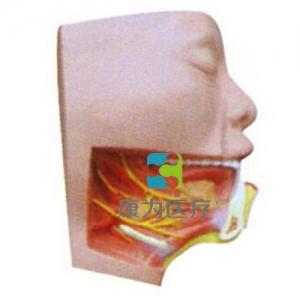 """yzc亚洲城 唯一 官网医疗""下颌下三角解剖模型"
