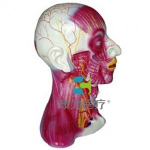 """yzc亚洲城 唯一 官网医疗""颈部中层肌肉血管神经模型"