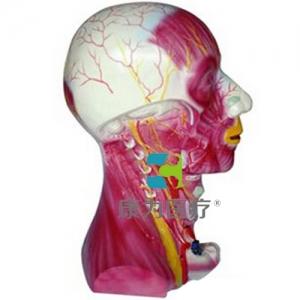 """yzc亚洲城 唯一 官网医疗""颈部深层肌肉血管神经模型"