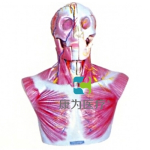 """""""亚博体育网页版登陆医疗""""头部、颈部层次解剖模"""