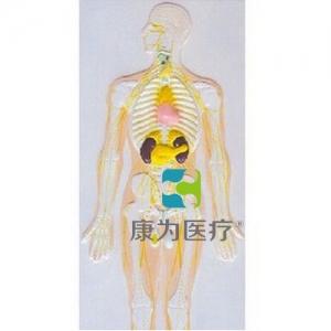 """yzc亚洲城 唯一 官网医疗""神经系统及内分泌腺浮雕模型"