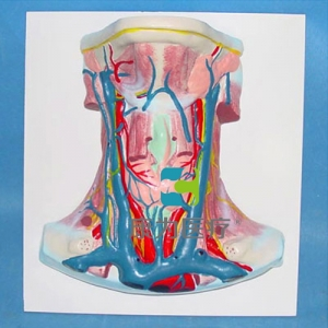 """yzc亚洲城 唯一 官网医疗""颈部动静脉血管分布模型"