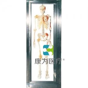 """""""亚博体育网页版登陆医疗""""不锈钢骨骼标本柜"""